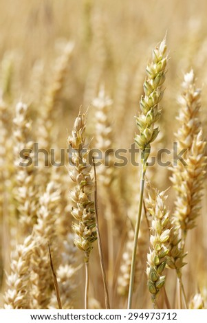 Detail of the ripe Wheat Spike