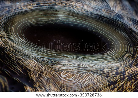 Detail of the siphon of a giant clam (Hippopus hippopus) on a reef in the tropical, western Pacific. - stock photo