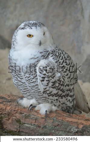 Detail of the snowy owl (Bubo scandiacus) in the zoo of antwerp in belgium. - stock photo