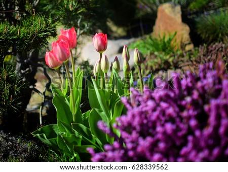 Detail Of Tulips In Summer Garden. Flowers In Rock Garden.