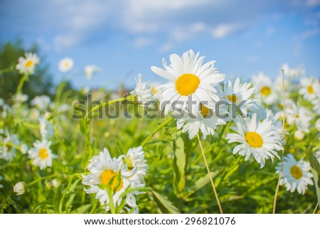 Detail of white daysies under blue sky on springtime - stock photo