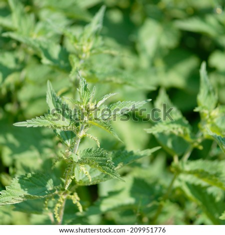 Detail of wild growing flowering stinging nettle plants. - stock photo