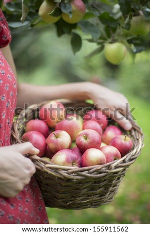 Detail Of Woman Picking Apples In Orchard - stock photo