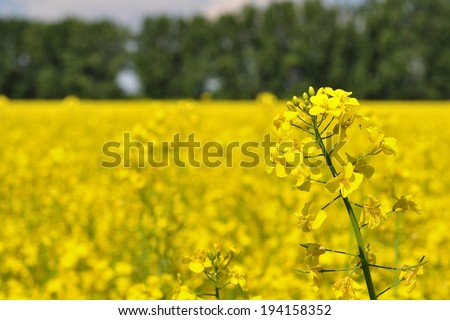 Detail of yellow canola (Brassica napus L.) with blurred canola field and trees - stock photo
