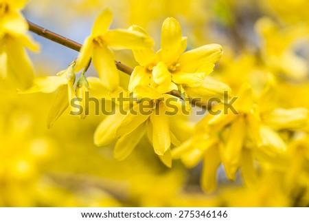 Detail of yellow forsythia blossom - stock photo