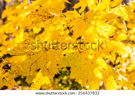 Detail Of Yellow Maple Leafs During Sunny Autumn Day - stock photo