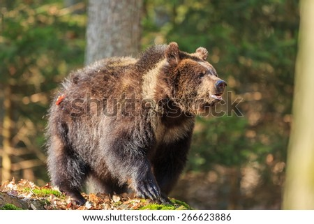 detail of young brown bear - stock photo