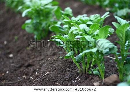 Detail on potato plant and soil - stock photo