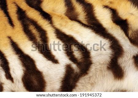 detail on tiger real black stripes, fur on animal - stock photo