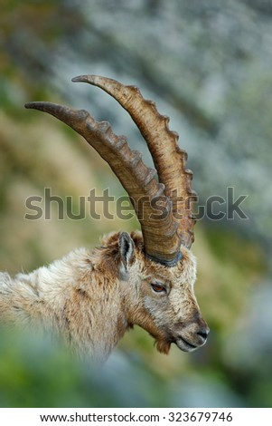 Detail portrait of antler Alpine Ibex, Capra ibex, with rocks in background, France - stock photo