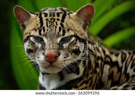 Detail portrait of ocelot, nice cat margay sitting on the branch in the costarican tropical forest, animal in the nature habitat - stock photo