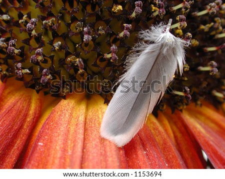 Detail shot of a single feather that had fallen onto a red and orange sunflower. - stock photo