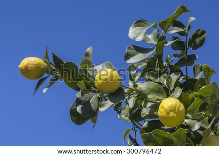 Detail view of a lemon tree against blue sky - stock photo