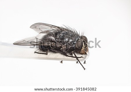 Detailed house fly