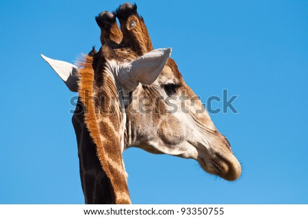 Detailed photo of a giraffe head with a blue sky background - stock photo