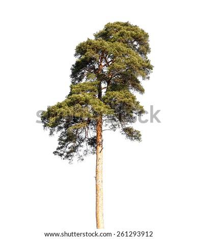 Detailed photo of European pine tree isolated on white background - stock photo