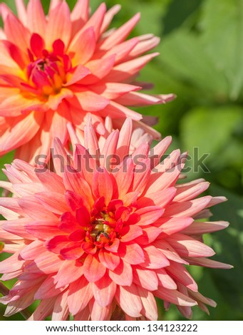 Detailed photo of red georgina bloom with selective focus and shallow DOF - stock photo