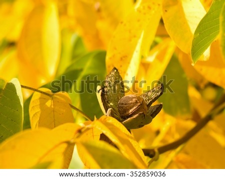 Detailed Picture of riped walnut with open green skin and shallow focus yellow autumn leaves on the tree in the garden. Just before harvest in sunny day. - stock photo