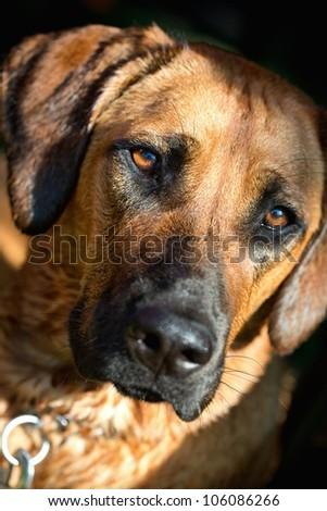 Detailed portrait of a Rhodesian Ridgeback dog - stock photo
