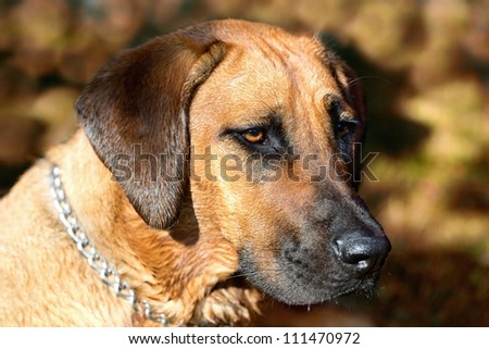 Detailed portrait of a Rhodesian Ridgeback dog - stock photo