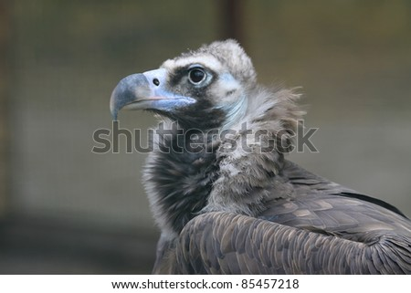 Detailed portrait of a white head vulture - stock photo