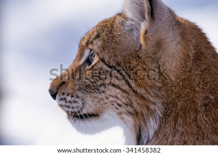 Detailed profile of head of lynx - stock photo