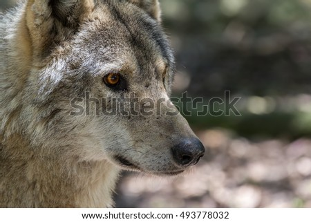 detailed side view portrait of a wolf's head with eyes watching and alert
