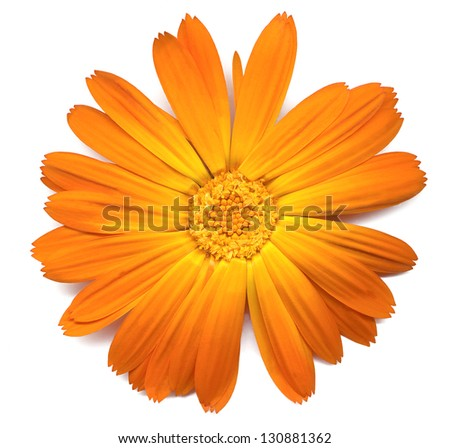Detailed study of a Calendula or marigold, flower on a white background - stock photo