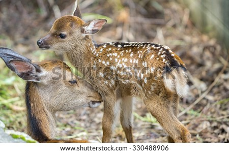 Detailed view of fawn and mom deer in a forest - stock photo
