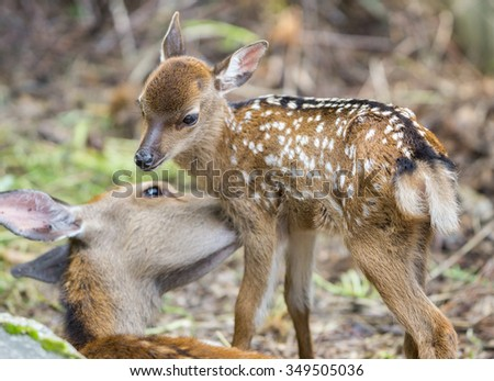Detailed view of fawn and mom deer in a forest, focus on baby eye - stock photo