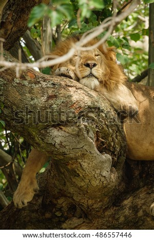 Detailed view of Lion with mane on a tree branch