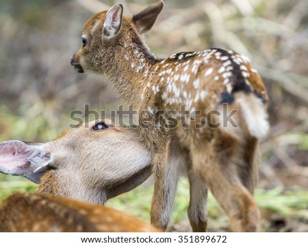Detailed view of mom deer licking fawn in a forest, focus on moms eye - stock photo