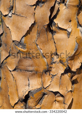 Detailed view of quiver tree bark with typical cracked structure - stock photo