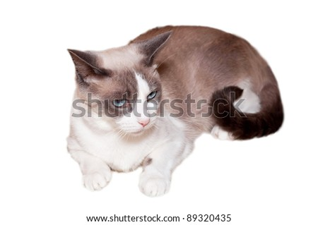 Detailed view of Snowshoe cat, a new breed of cat originating in the USA.