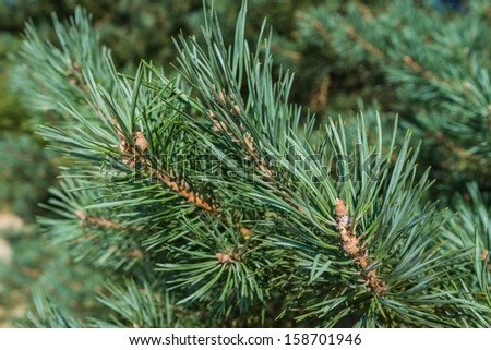 Detailed view of the needles of a Scots Pine or Pinus sylvestris growing from the branches. - stock photo