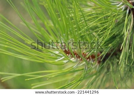 datura innoxia medicinal uses pdf