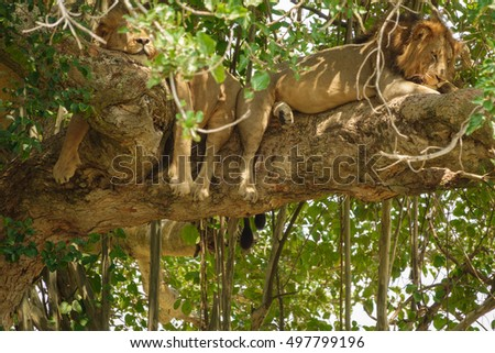 Detailed view of two male Lions with mane taking a nap on a tree branch