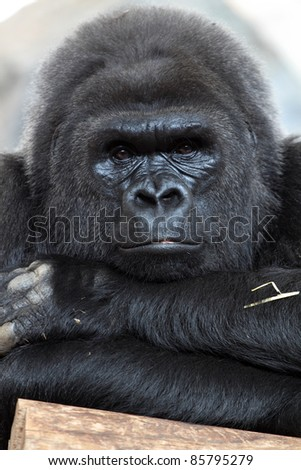 details of a beautiful gorilla