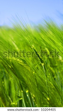Details of a green wheat field, grain, corn. - stock photo