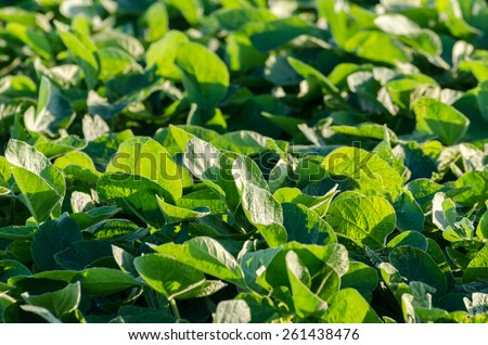Details of a soy crop field  - stock photo