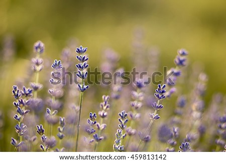 Details of beautiful herbal lavender field - stock photo