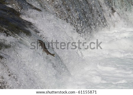 Determination - The sockeye salmon jump up over the Brooks falls to reach their upstream spawning grounds.