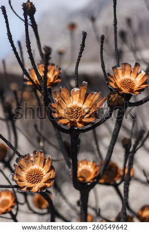 Devastation on Ou Kaapse Weg after a wildfire, the fire allows the Protea's seeds to disperse which will enable the flowers to reproduce and regenerate. - stock photo