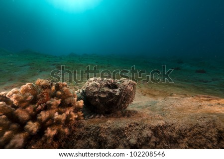 Devil scorpionfish in the Red Sea - stock photo