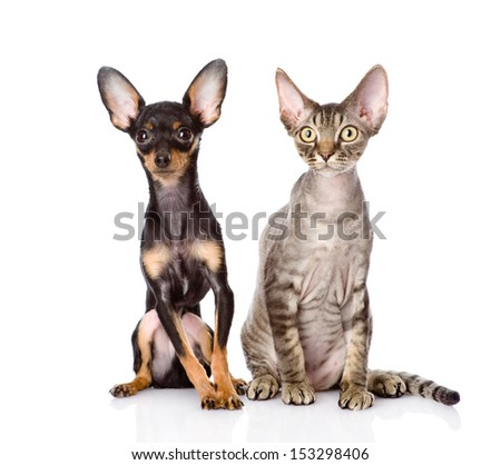 devon rex cat and toy-terrier puppy sitting together. looking at camera. isolated on white background