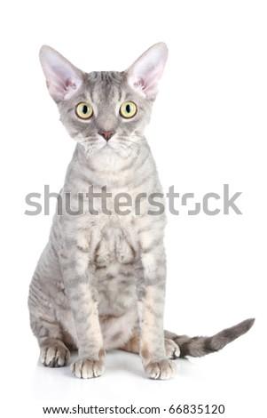 Devon Rex cat breed sitting on white background - stock photo