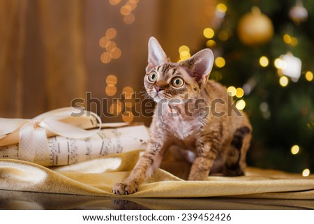 Devon Rex cat, Christmas and New Year, portrait beautiful cat on a color background - stock photo