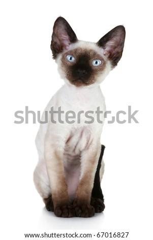 Devon-rex cat close-up portrait on a white background - stock photo
