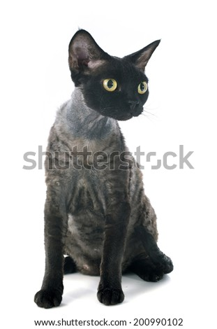 devon rex cat in front of white background