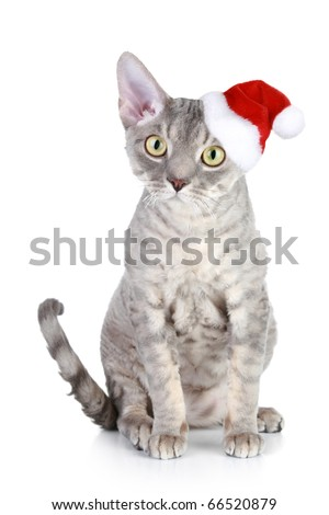 Devon Rex cat in xmas red hat on a white background - stock photo